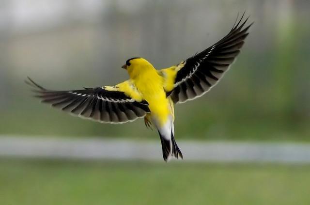 American Goldfinch in flight