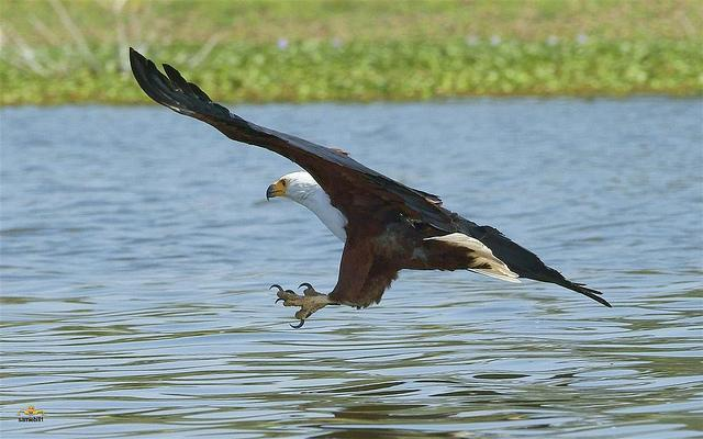 Eagle Fishing moments before the catch