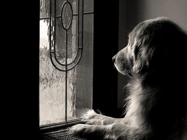 Golden Retriever waiting patiently by the door