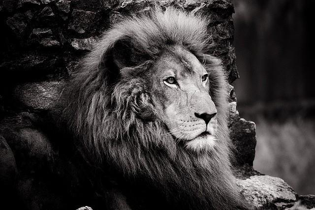 Beautiful Black and White Photo of a wise old Lion