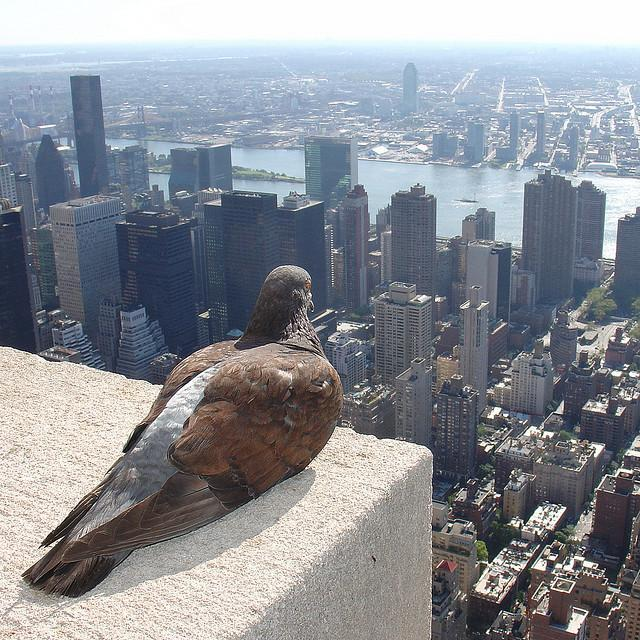 A Pigeon enjoys the view of New York City from the Empire State Building